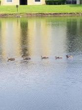 Duck friends
